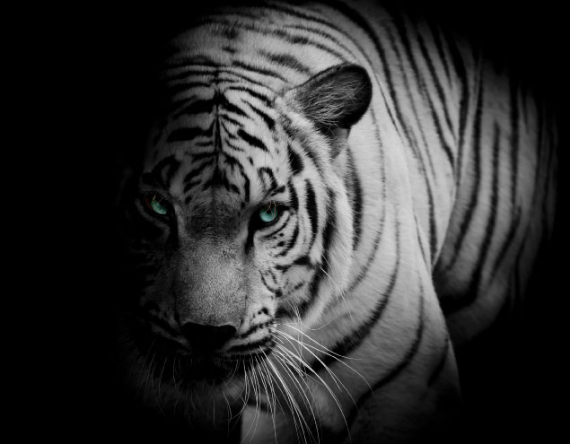 Blue Eyes Tiger